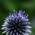 ルリタマアザミ  開花(1)