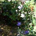庭のキキョウ