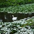 Photos: コブハクチョウ 睡蓮の池