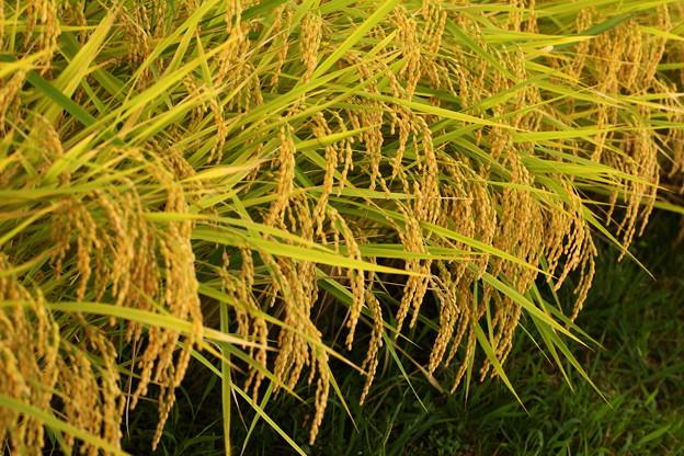 黄金の稲穂