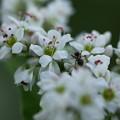 Photos: ソバの花とアリさん?