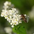 Photos: ソバの花とミツバチ