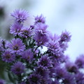 パープルの菊
