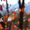 Photos: 10月と桜の紅葉