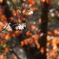 Photos: 10月桜とソメイヨシノの紅葉
