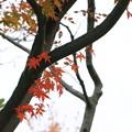 Photos: 紅葉(1)