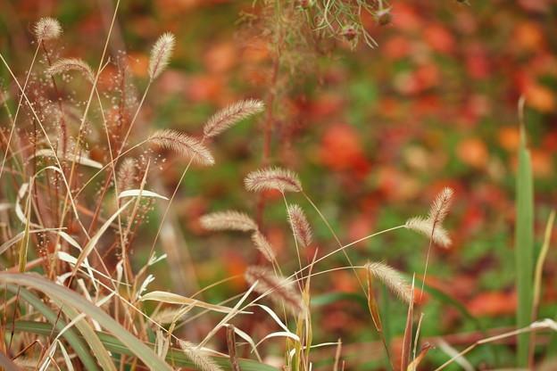 Photos: 秋色ネコジャラシと落ち葉