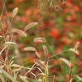 秋色ネコジャラシと落ち葉