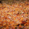 Photos: 落ち葉の絨毯