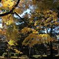 Photos: 天徳院 境内のモミジ
