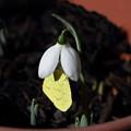 Photos: 開花したスノードロップにキチョウさん(2)