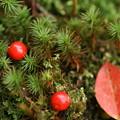 杉苔と真っ赤な実