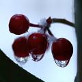 カラタチバナの実  雪と滴