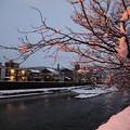 浅野川 桜の木 雪の花(夕日に染まって)