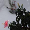 ハイビスカス 雪