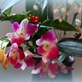 お正月の花  デンファレ