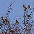 雀の成る木