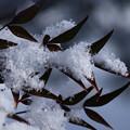南天の葉と雪