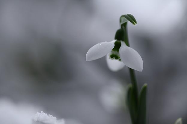 スノードロップ(1)  雪と滴