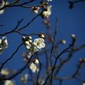 青空の下で 神社の白梅開花(2)