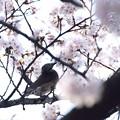 ヒヨちゃんのお花見