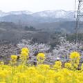 菜の花とソメイヨシノ&雪山