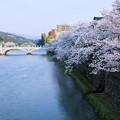 浅野川 満開のソメイヨシノ