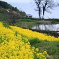 菜の花と棚田&日本海(2)
