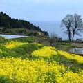 菜の花と棚田&日本海(3)