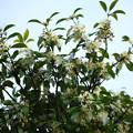 何の花?  シキミという木のようです。