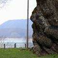 荘川桜と足元のタンポポ (樹齢450年)