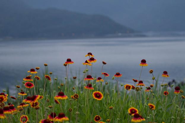 朝の河口湖  テンニンギク?