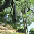 写真: アオサギさん  唐崎松の木陰で
