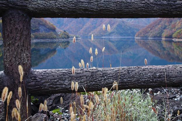 キンエノコロとダム湖