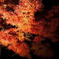 兼六園ライトアップ 秋の段(10) モミジ