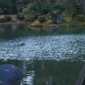 霞ヶ池 カモと鯉