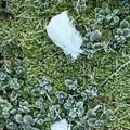 Photos: 霜の花と白鳥さんの落し物