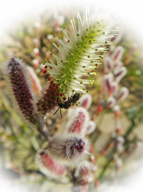 ネコヤナギ 蜂さん