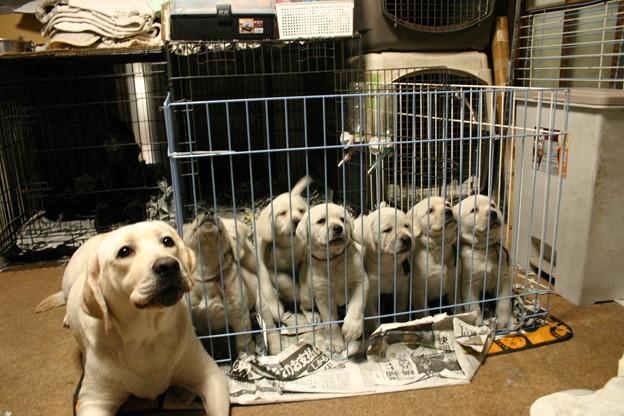 ラブラドール・レトリーバー、ブリーダー、子犬販売