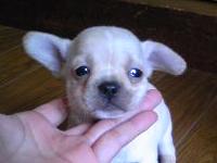 チワワ&ブルドッグ、東京都ブリーダー子犬販売