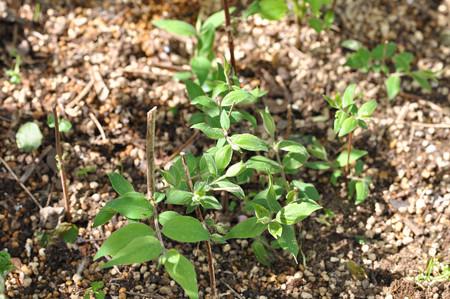 コルクウィッチア アマビリス挿し木
