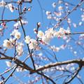 Photos: 杏子花20140315_1