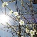 Photos: 咲き始め