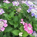 Photos: 紫陽花。