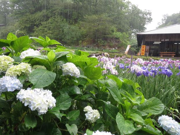 雨の紫陽花と花菖蒲。
