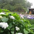Photos: 雨の紫陽花と花菖蒲。
