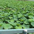 一面蓮畑。