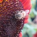 ココアとミツバチ。
