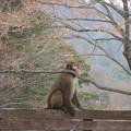 一匹狼(猿だけど)