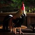 Photos: 神鶏